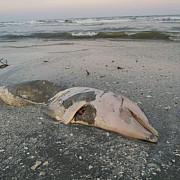 spectacolul naturii la sulina furtuna de pe mare a adus pe tarm delfini mortifoto video