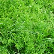 iarba care reduce efectul de sera