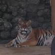 tigrul alex cea mai noua atractie de zoo ploiesti