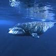 o specie de balene ar putea detine secretul pentru o viata mai lunga