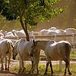 cat valoreaza caii de rasa ai romaniei