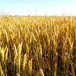 seceta ameninta agricultura