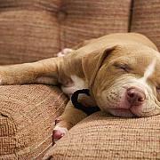 bucurestenii obligati sa sterilizeze cainii mai mari de sase luni