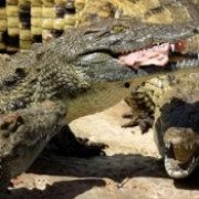 africa de sud circa 15000 de crocodili au scapat dintr-o crescatorie