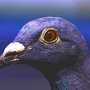 un roman a vandut cel mai scump porumbel din lume