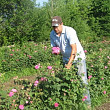 dulceata de trandafiri facuta in romania aduce un profit de 10000 de euro