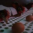 ouale si carnea de pasare din romania respecta standardele europene