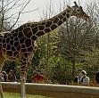 gradina zoologica din targu mures detine singura girafa din romania
