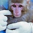 iranul va trimite o noua maimuta in spatiu