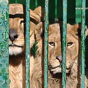de ce nu pleaca leii lui nutu camataru in africa de sud