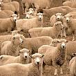 zeci de mii de oi romanesti moarte de foame si sete in timpul transportului catre export