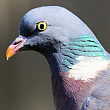 sapte romani suspectati ca au furat porumbei voiajori de competitie care valoreaza un milion de euro