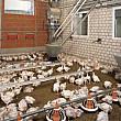 peste 37000 de pasari contaminate cu salmonella  la o ferma din romania