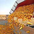 importurile de porumb romanesc in sua au crescut de peste 20 de ori intr-un an