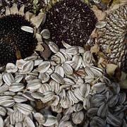 seminte de floarea soarelui contrafacute in bucuresti prahova si ilfov