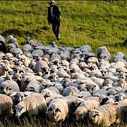 ciobanii sunt decisi sa protesteze fata de legea care limiteaza numarul cainilor la stana
