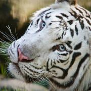 mexic un dresor a fost omorat de un tigru in timpul spectacolului