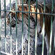brasov barbat sfasiat de tigru la gradina zoologica