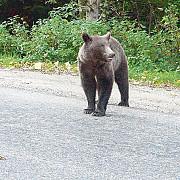 ursul fantoma de pe autostrada lugoj-deva costa 180 milioane euro