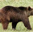ursii ataca din nou