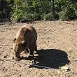 o ursoaica si doi pui s-au plimbat pe aleile castelului peles