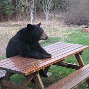 harghita ursii au provocat peste o suta de incidente in 2012