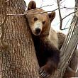 panica printre turistii de la cheia o ursoaica a dat buzna prin mai multe gospodarii