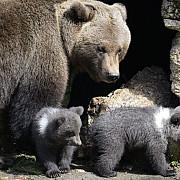 ursoaica si puii care au speriat turistii de la cheia au fost capturati si mutati la zarnesti