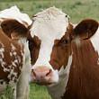 arabia saudita a interzis importul de bovine din romania