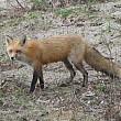 bistrita-nasaud doua persoane muscate de o vulpe