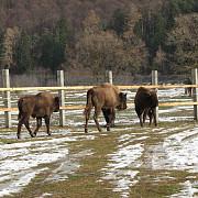 rezervatia de zimbri de la vama buzaului areal turistic inedit al brasovului