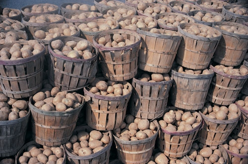 recolta-de-cartofi